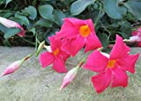 Rocktrumpet is a genus of subtropical flowering vines .: Mandevilla