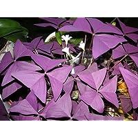 5 x Oxalis Triangularis purpurea flowering sized bulbs. AVAILABLE NOW.