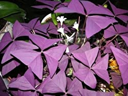 Oxalis Triangularis is a delicate looking ornamental plant, grown indoors or out. When grown outside it will die down over winter but will stay leafy indoors. Plant in any fertile, well drained soil in containers or hanging baskets. It prefers soil t...