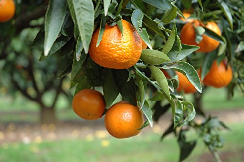 clementinier-arbre-tige