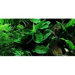 Anubias barteri var. nana - Plantas de acuario