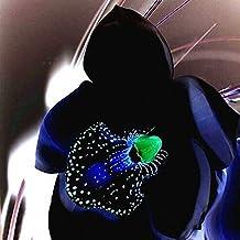 orchidee noir