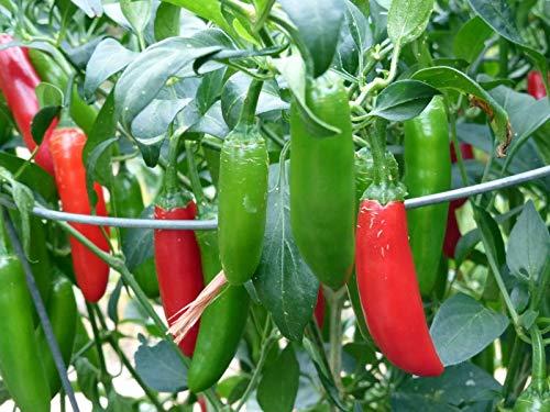 FERRY Bio-Saatgut Nicht nur Pflanzen: 100 Samen oder 2: Serrano Hot Chili Pepper Samen, Non-GMO 100 Seeds Pico de Glo, by