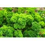 National Gardens Moss Curled Parsley Herb Seeds (Pack of 50)