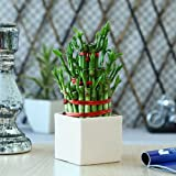 Exotic Green Lucky Bamboo 3 Layer In White Ceramic Pot Indoor Plant