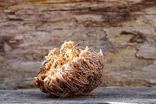 Echte Rose von Jericho/100 Samen/Ostergeschenk/Weihnachtsgeschenk/Alter Brauch