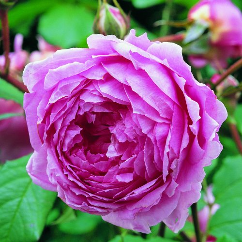 rose-raymond-blanc-a-superb-living-plant-rose-gift-named-of-famous-french-chef-raymond-blanc