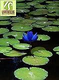 Liveseeds - Mini Bonsai Azul Lotus / Flor de Nenúfar / 5 Semillas Frescas