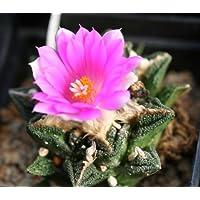 Ariocarpus fissuratus hintonii - 10 semi