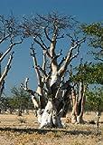 Tropica - Moringa Albero fantasma di Etosha (Moringa ovalifolia) - 10 Semo