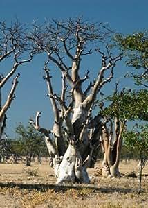 Tropica moringa geisterbaum von etosha moringa - Qs gartendeko ...