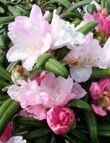 Yakushima Alpenrose Rhododendron yakushimanum Edelweiß cm 30 cm breit im 3 Liter Pflanzcontainer