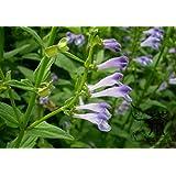 Asklepios-seeds® - 1000 semillas Scutellaria barbata Escutelaria barbada