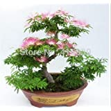 30 Pcs Caladium Indoor Plants Seeds Florida Caladium Bicolor Seeds Bonsai Colocasia Plant Rare Flower Seeds For Home Garden