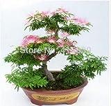 20 Graines Pieces Bonsai Albizia fleur appelée semences Mimosa Arbre Soie rares plantes de jardin...