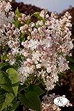 Flieder, Edelflieder Schöne von Moskau ® - Kräftige Pflanze im 3,5 lt.-Topf, 40-60 cm