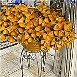 Shopmeeko Kostenloser Versand 100 Stück Oxalis versicolor Blumen Pflanzen Seltene Blumen Gartenhaus pflanzt O. versicolor Blumen Semillas: Hellgrau