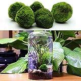 Womdee Marimo Moss Ball, Verde, Tutte Le Piante acquatiche Naturali-1,6 Rotondo Marimo Moss Ball-Best Freshwater Acquario Piante Decorazioni-Aiuta a Mantenere l'umidità-integratore Hermit