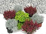 Grabbepflanzung Set Urnen- oder Einzelgrab Wechselbepflanzung rot-weiß-winterhart 7 winterharte Pflanzen für die perfekte Grabgestaltung
