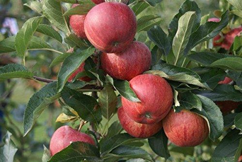 Gala, Herbstapfel, Buschbaum (kleinbleibend), 120-140cm, im Topf