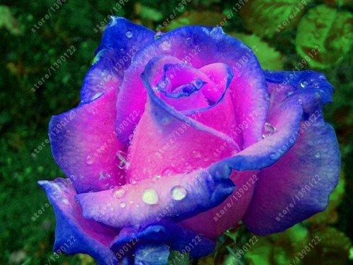 Galleria fotografica 200pcs / bag rari colori misti rosa semi della Rosa dell'arcobaleno semi di bonsai semi di fiori rosa nera pianta rara balcone per giardino di casa 10