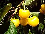 Kirsche Busch-Baum Dönissens Gelbe Knorpelkirsche süß 120-150 cm gelbes Obst Gartenpflanze 1 Pflanze