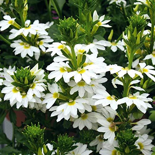 Volmary Fächerblume \'Surdiva White\' | ideal für Töpfe und Kübel | weiße Blüten | 3er Pflanzen Pack