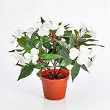 artplants - Deko Fleißiges Lieschen, creme - weiß, getopft, 13 Blüten, 25 cm - Künstliche Impatiens Blumen / Kunststoff Pflanze