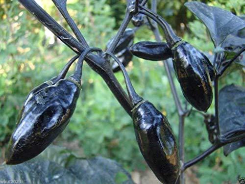 GEOPONICS 10 Pimenta da Neyde Pfeffersamen (Capsicum chinense) extrem seltene, muss wachsen
