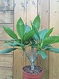 Frische Plumeria Samen, TOP Farbe! 5 exotische Samen, Parfüm Duft Pflanze