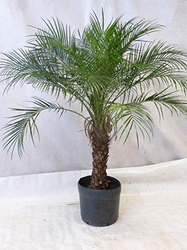 Phoenix Roebelenii Zwerg-Dattelpalme 150 - 170 cm / 50 cm Stamm Zimmerpalme