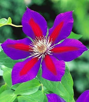 BALDUR-Garten Waldrebe Clematis 'Etoile de Malicorne', 1 Pflanze von Baldur-Garten auf Du und dein Garten
