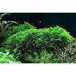 Tropica Vesicularia dubyana Christmas Moss 1-2-Grow Tissue Culture In Vitro Live Aquarium Plant Shrimp Safe & Snail Free 8