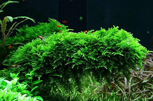 Tropica Vesicularia dubyana Christmas Moss 1-2-Grow Tissue Culture In Vitro Live Aquarium Plant Shrimp Safe & Snail Free 4