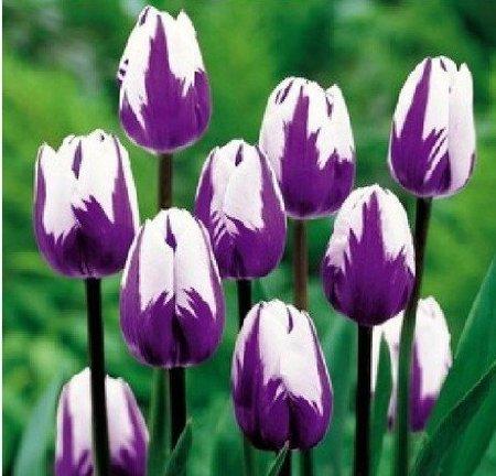 Alle Arten von Tulpenzwiebeln schöne Gartenblumen für Topfpflanzen geeignet sind (es ist keine Tulpe Samen) 2PC Zwiebeln 2