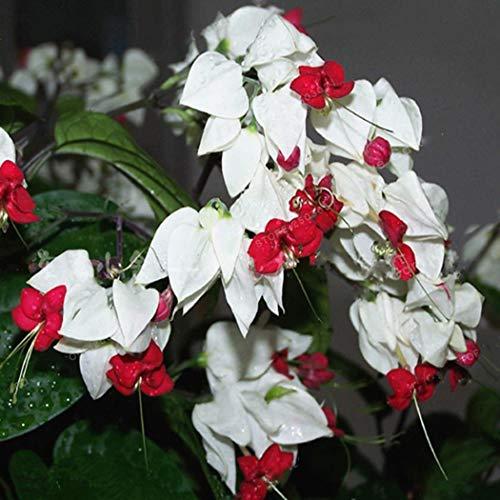 Keland Garten - Selten 50 Stück Fuchsien (Fuchsia) magellanica Blumensamen Weiß Zierpflanze pflegeleicht, geeignet für Ihr Garten, Balkon, Terassen