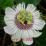 Multi-Colored : ``Hot `100Pcs2016 New Rare Rare Exotic Passion Flowers Seeds Edible Fruit Passiflora Edulis Fresh Passion Seeds