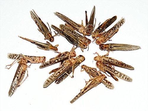50 Stück Heuschrecken getrocknet Futterinsekten Reptilienfutter Fischfutter Igelfutter Nagerfutter
