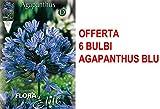 OFFERTA 6 BULBI PRIMAVERILI AGAPANTHUS BLUE BULBS BULBES