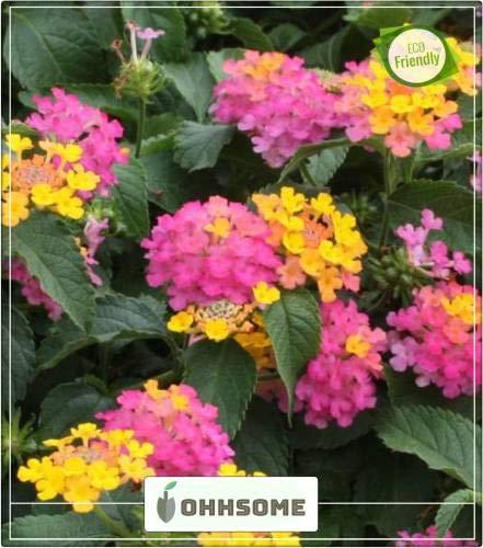 Pinkdose Frühling Herb Mix Samen Lantana Camara - Bands Nagaairi Phullaki Putus Tantbi Balkon Kräutersamen Samen Küche Garten Samen Packung Saatgut -