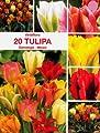 Viridiflora Tulpen Mischung 20 Zwiebeln von Mosselman - Du und dein Garten