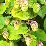 Green Seeds Co. Kostenlose Lieferung 20 Stück Hopfen. Humulus Lupulus bonsai Seltene Bier Blume Pflanzen Form Rhizome 2016 Jardin Neue Bonsai Semente Plantas: lila