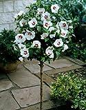 Hibiskus Red Heart® zum Stämmchen gezogen rot-weiß blühend. 1 Pflanze