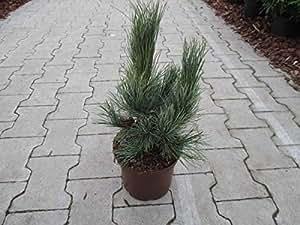 Zirbelkiefer - Pinus cembra - Westerstede - anspruchslos - sehr winterhart - 25-30 cm