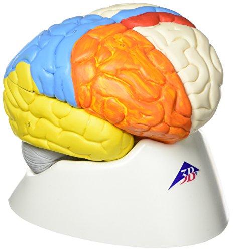 3B Scientific C22 Modelo de anatomía humana Cerebro Neuro, Anatómico, desmontable En 8 Piezas