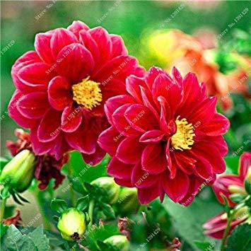 VISTARIC 11: 100 Pcs vrai Cactus Seeds, Mini Cactus, Figuier, Succulentes japonais Graines Bonsai Fleur, Plante en pot pour jardin 11