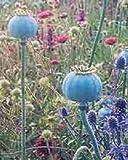 250 semi di papavero Papaver somniferum Giganteum Fiore