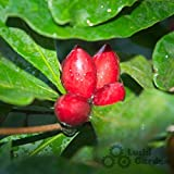Portal Cool 4 Samen Miracle Fruit Berry Fresh Seeds Versand