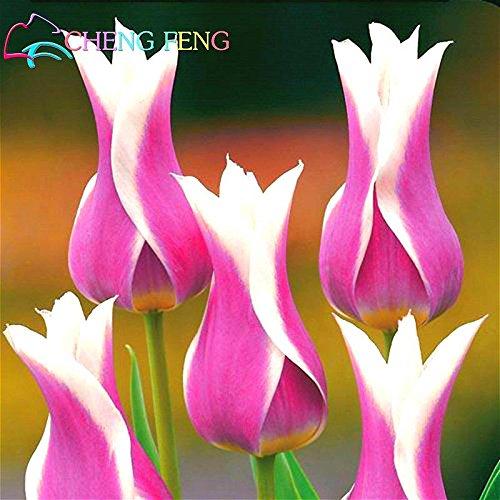 50 pièces de haute qualité Graines de fleurs Jardin Tulipe graines Bonsai Graines Balcon Pot plus belles plantes colorées * semences non bulbes de fleurs rouges