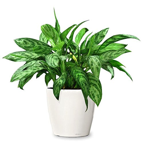 chinese-evergreen-aglaonema-cutlass-very-easy-care-houseplant-tolerant-to-poor-lighting-making-it-id